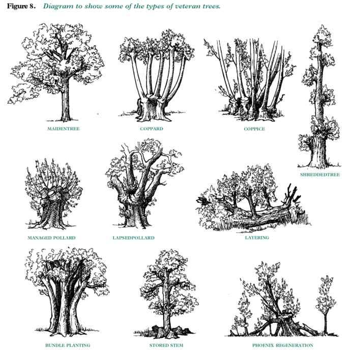 Veteran-Trees-Management-Guide-types-of-veteran-trees-g10.png